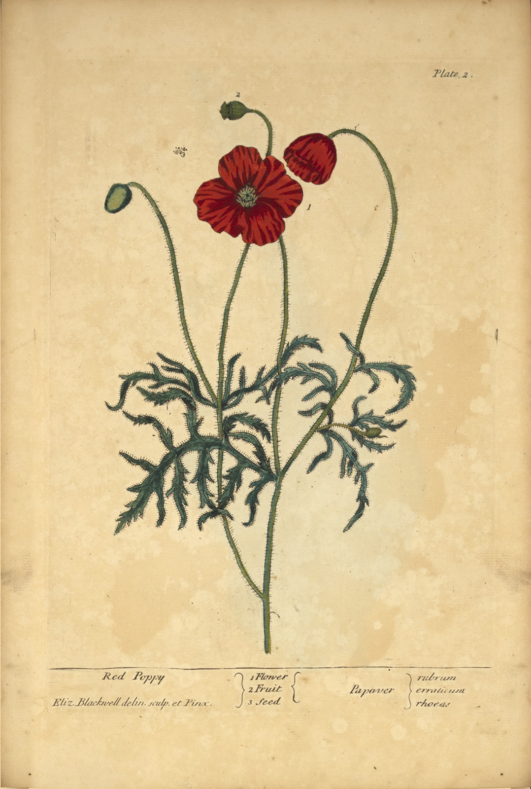The Red Poppy A Curious Herbal Circulating Now From Nlm