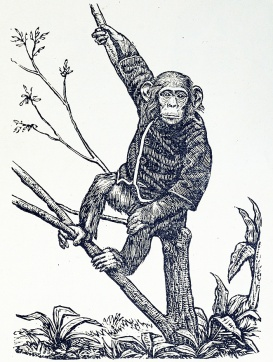 An engraving of a chimpanzee sitting in a tree wearing a jacket.