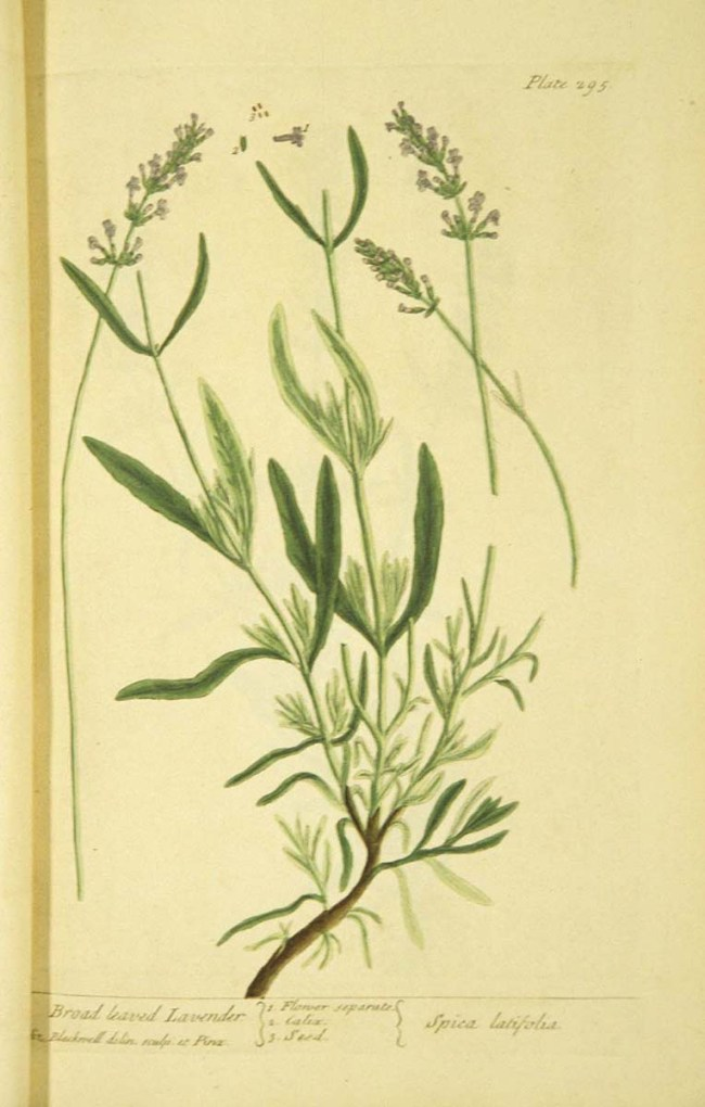 Botanical illustration showing stems, flowers and seeds of the lavendar plant.