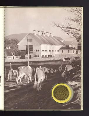 Cows headed down a path toward a large barn complex.