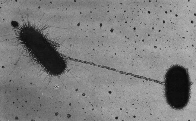 An electron microscope image of a two capsule shaped bacteria connected by a thin tube.