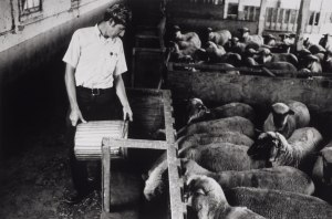 A man in a dress shirt feeds a pen of sheep in a barn.