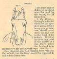 A line drawing of a horse's head with lines drawn across the forehead indicating how to find a spont in the middle of the forehead and a little above the eyes.