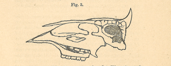 A line drawing of a crossection of a cow's skull.