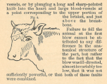 A line drawing of a cow's head with lines drawn across the forehead indicating how to find a spont in the middle of the forehead and a little below the base of the horns.