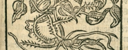 A woodcut illustration of the sarsaparilla plant including leaves and roots.