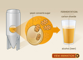 Illustration of the process of fermentation