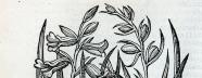 A simple botanical illustration of gladiolus leaves and flowers.