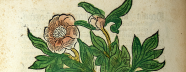 Colored woodcut showing a bushy plant with handlike leaves, large flowers.