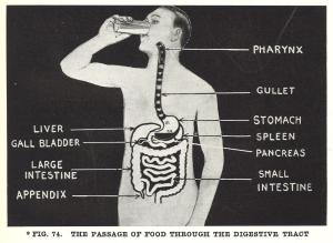 Labeled illustration of the parts of the digestive tract.