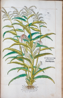 A colored illustration of a corn plant.