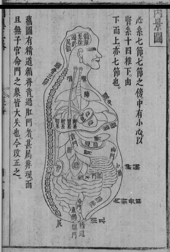 A diagram of the internal organs of the human body, shown from the side, with lables in Chinese.