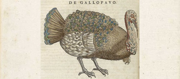 A hand colored Illustration of a Turkey.