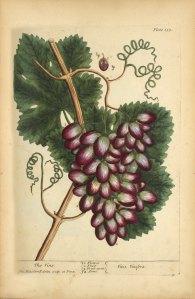 A botanical illustration of a grape vine.