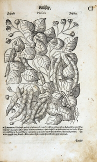 A dense illustration of a string bean vine showing roots, leaves, flowers and seed pods.