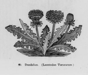 Engraving of Dandelion. (Leontodon Taraxacum)