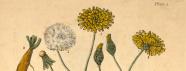 Colored botanical illustration of a dandelion plant.