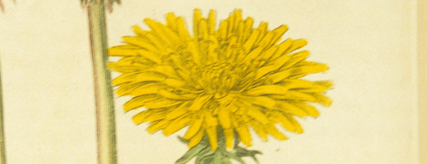A botanical Illustration of a Dandelion flower.