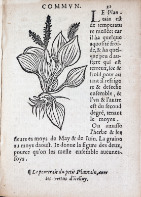 Inset in the text, a wood cut of a plantain, a broadleaf plant with fibrous roots and grass-like seedheads.