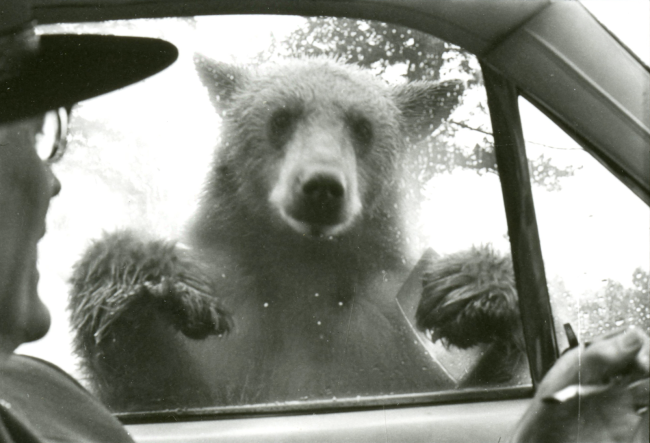A bear leans on the window of a car as the driver looks on.