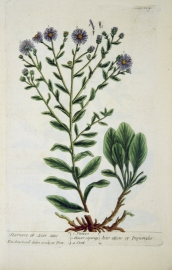 Illustration of the flowers and seeds of starwort
