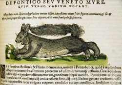 Illustration of a squirrel gathering nuts. Latin text above and below illustration
