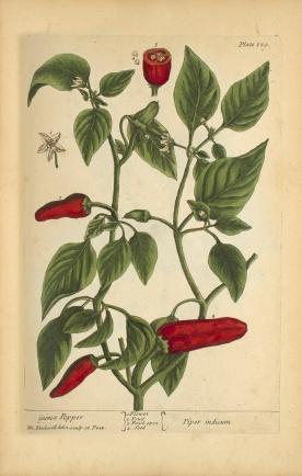 A botanical Illustration of a chili pepper plant.