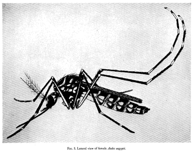 Lateral View of a female Aedes Aegypti mosquito.