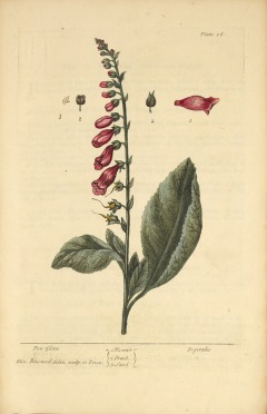 Plate 16 from Elizabeth Blackwell's A curious herbal. Illustration of the flower, fruit, and seed of a foxglove plant.