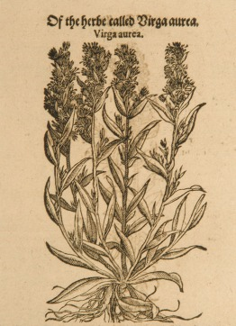 Woodcut illustration of golden rod showing the stalks, leaves, flowers, and roots.