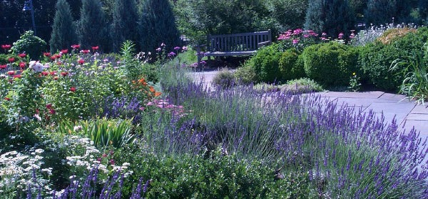 Photo of Lavender and feverfew in the foreground, and monardo in the background