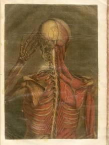 Color mezzotint of a human figure viewed from behind with most of the flesh removed to reveal the muscles and skeleton of the back of the head, shoulders and back.