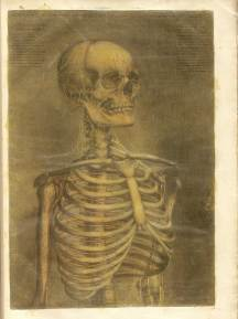 Color mezzotint of a skeleton from the bottom of the ribcage up including the skull, neck, and upper arms.