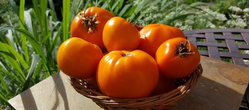 a basket of yellow tomatos.