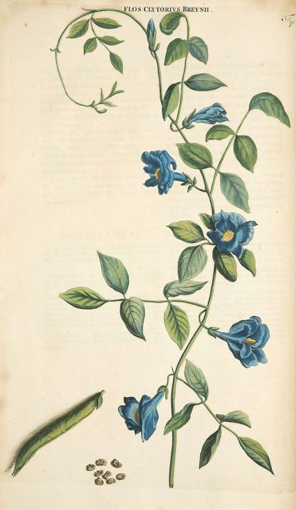 A hand-colored copper-plate engraving of a vining pea-like plant with blue flowers.